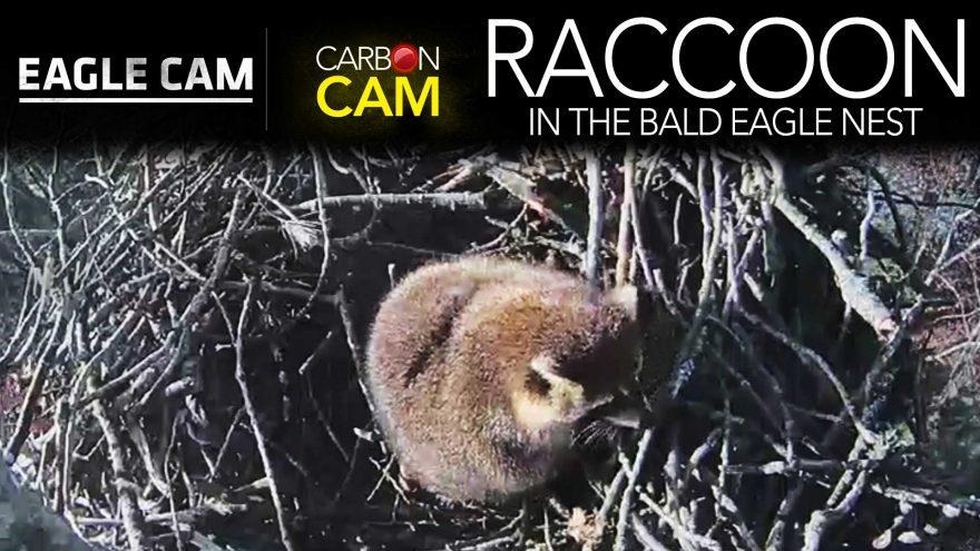 RaccoonTakesOver-880x495.jpg